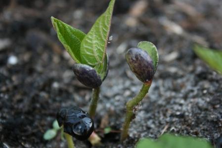 black-bean-opens